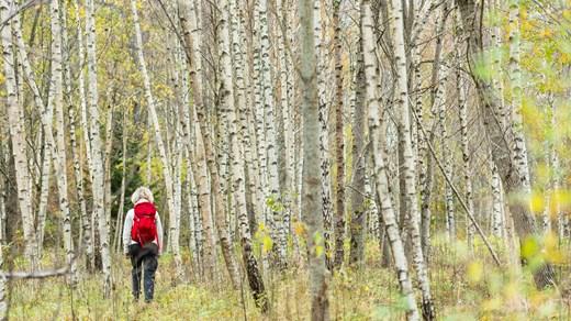 Vandring i björkskog